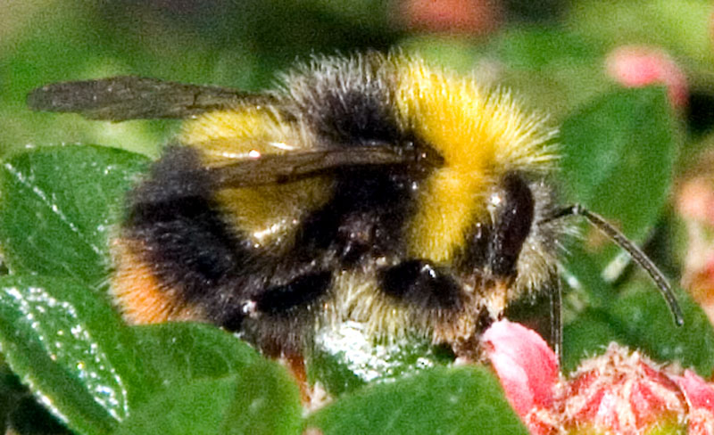 Early bumblebee male